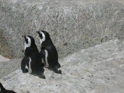 2005 Fev, Pingouins, Afrique